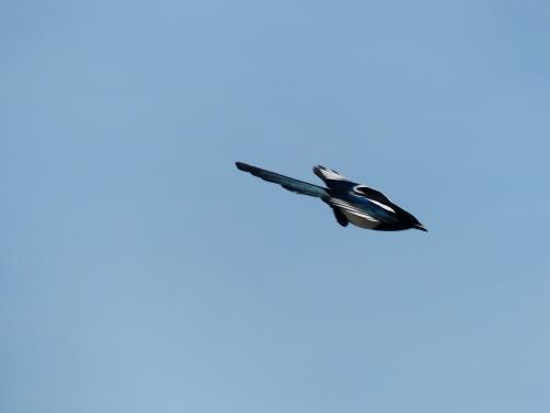 Pie bavarde qui voulait ressembler à un avion