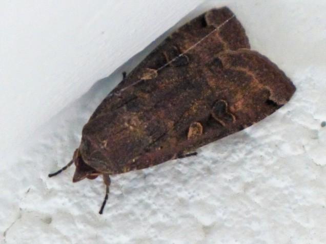papillon nocturne (10)